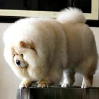 精品 松狮幼犬出售毛色好 血统纯正 签协议包养活