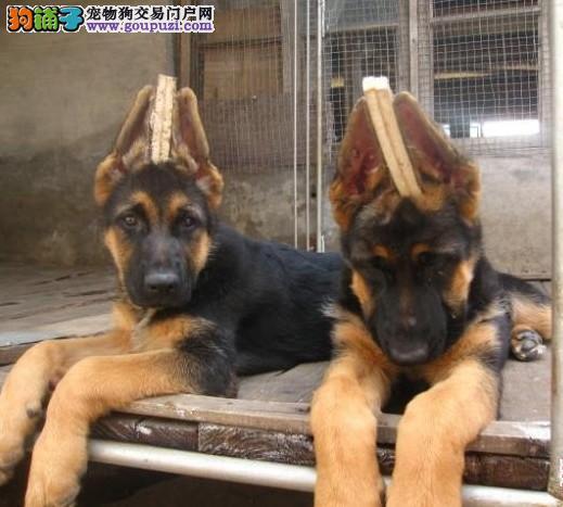 德国牧羊犬缩略图