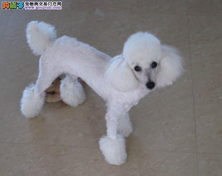 精品 贵宾幼犬出售毛色好 血统纯正 签协议包养活