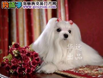 权威机构认证犬舍、专业马尔济斯犬培育 完美售后服务