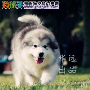 权威机构认证犬舍、专业阿拉斯加犬繁殖 完美售后
