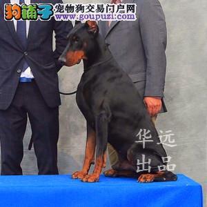 权威机构认证犬舍、专业杜宾犬繁殖 完美售后