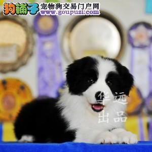 权威机构认证犬舍、赛级边境牧羊犬繁殖 完美售后