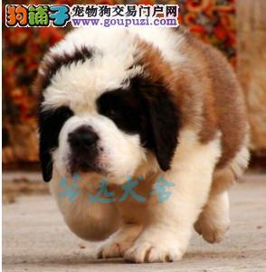 权威机构认证犬舍、圣伯纳犬专业繁殖 完美售后