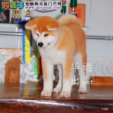 权威机构认证犬舍、专业赛级秋田犬繁殖 完美售后