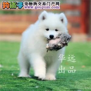 权威机构认证犬舍、专业赛级萨摩耶犬繁殖 完美售后