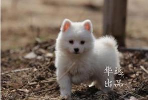 权威机构认证犬舍、专业银狐犬繁殖 完美售后