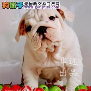 权威机构认证犬舍、专业英国斗牛犬培育 完美售后2