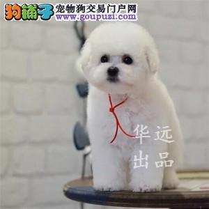 权威机构认证犬舍 专业比熊犬繁殖 完美售后服务