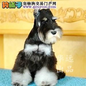 权威机构认证犬舍 专业雪纳瑞繁殖 完美售后服务
