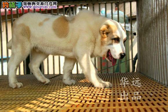 权威机构认证犬舍、正规中亚犬繁殖 完美售后