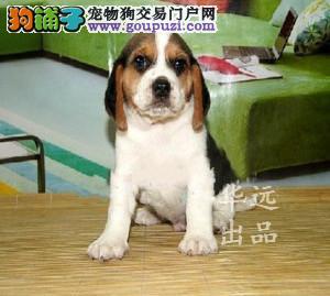 权威机构认证犬舍、专业比格犬培育 完美售后服务2