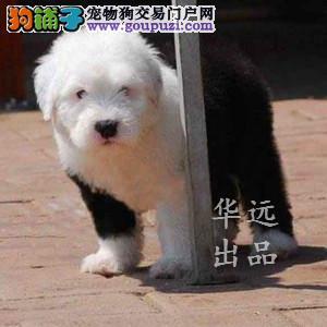 权威机构认证犬舍、专业古代牧羊犬繁殖 完美售后
