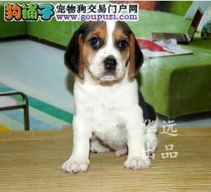 权威机构认证犬舍、专业比格犬培育 完美售后服务3