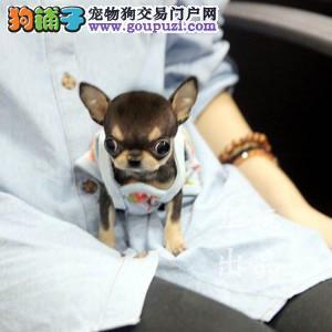 权威机构认证犬舍 专业吉娃娃培育 完美售后服务
