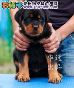权威机构认证犬舍、专业罗威纳犬繁殖 完美售后