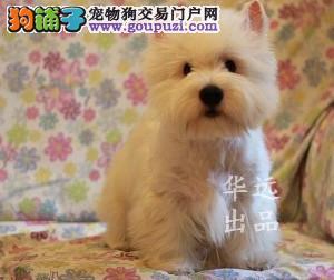 权威机构认证犬专业西高地犬繁殖完美售后服务