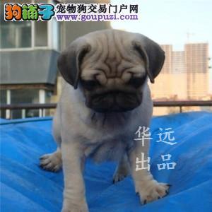 权威机构认证犬舍极品巴哥犬繁殖完美售后服务
