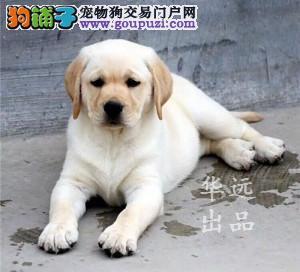 权威机构认证犬舍、赛级拉布拉多犬繁殖 完美售后