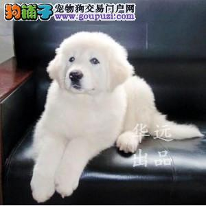权威机构认证犬舍 专业大白熊繁殖 完美售后