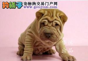 权威机构认证犬舍、专业沙皮犬繁殖 完美售后