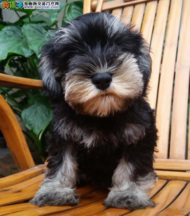 成都哪里有卖雪纳瑞幼犬多少钱一只图片