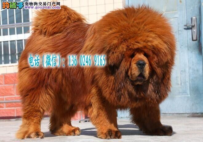 深圳哪里有卖藏獒 深圳藏獒多少钱一只