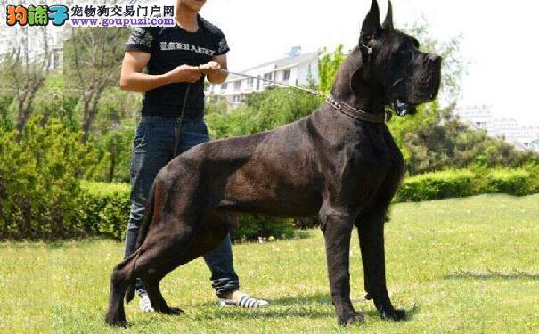 大丹犬的种类介绍 大丹犬的颜色