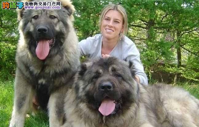 高大的高加索犬适合家养吗 高加索犬的性格