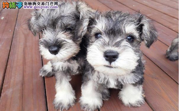 雪纳瑞的选购标准 养只雪纳瑞梗犬可爱又贴心
