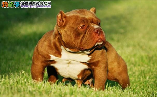相貌凶狠却性格温柔的美国恶霸犬 美国恶霸犬的起源