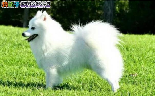 日本银狐犬聪明吗 日本尖嘴犬智商