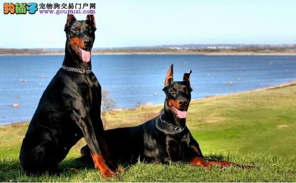 德国杜宾犬打架厉害吗 杜宾犬凶猛善战不输大型猛犬5