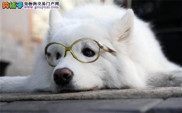 萨摩耶的选购要点 分辨萨摩耶犬和银狐犬的区别