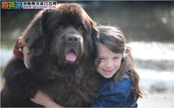 纽芬兰犬好养吗 纽芬兰犬性格特点