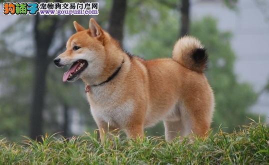 想养柴犬没那么容易 先了解柴犬的优点和缺点