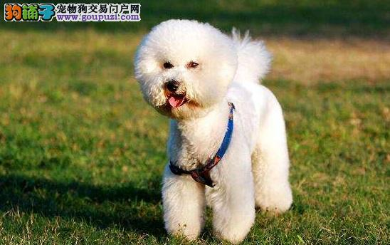 比熊犬性格怎么样 属不属于温顺的小型犬
