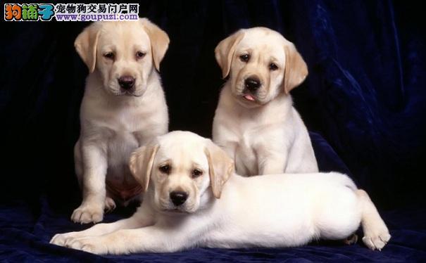 选购健康的拉布拉多犬要看什么