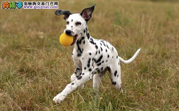 购买大麦町犬需要多少钱 斑点狗的品质影响价格