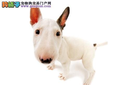 智商不算高的牛头梗犬也很容易训练 牛头梗犬聪明吗5