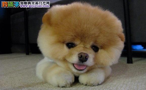 购买纯种俊介犬多少钱 品质越高价格越高