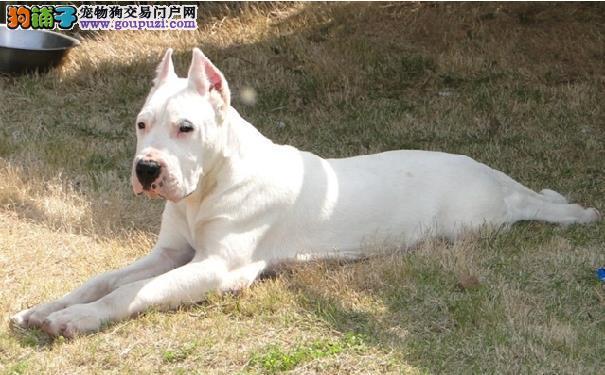 杜高犬的价格阿根廷杜高犬的外形特征