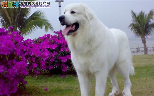 怎样挑选大白熊犬 大白熊犬的价格