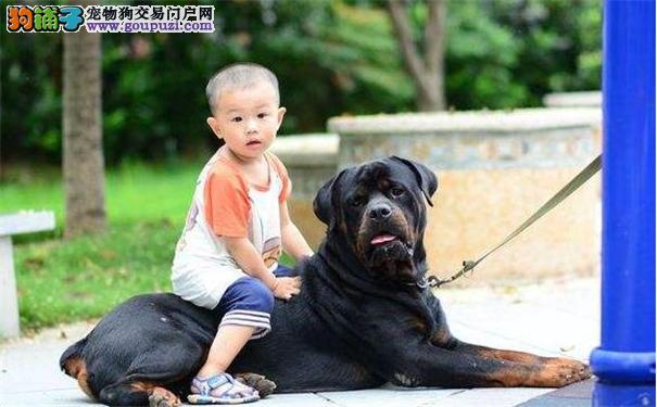 罗威纳犬的性格 罗威纳犬适合家养吗