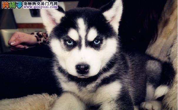 哈士奇多少钱一只 西伯利亚雪橇犬幼犬价格