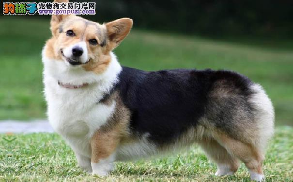 威尔士柯基犬拉肚子怎么办 柯基犬拉肚子的原因