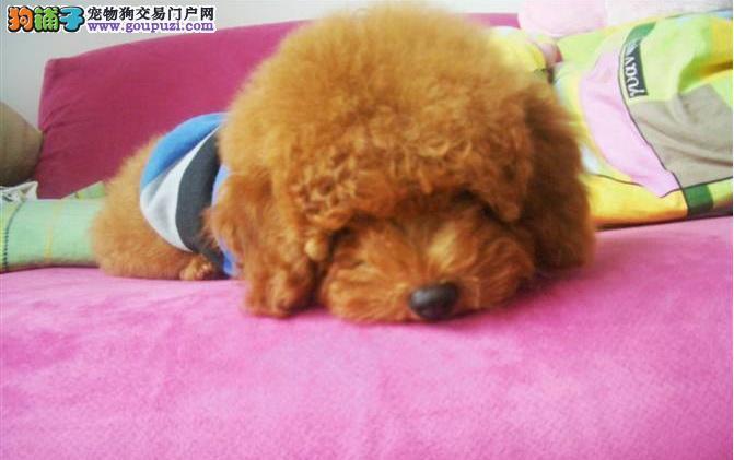 泰迪中暑的原因 泰迪犬中暑的症状