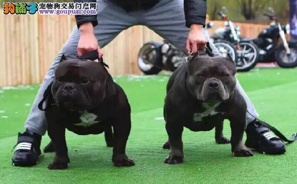 如何训练美国恶霸犬奔跑训练恶霸犬奔跑的方法介绍
