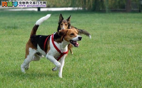 米格鲁猎兔犬生病怎么办 比格犬生病需注意