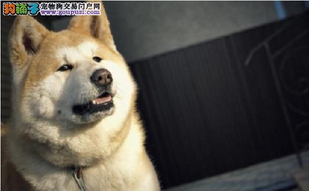 秋田犬适合看家吗 秋田犬乱叫的原因